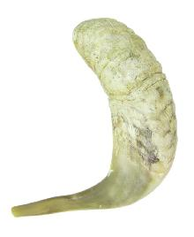 Shofar Genuine 40-45 cm Rough